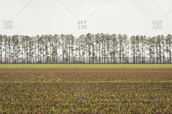 Crop lined with tall trees in rural North Carolina