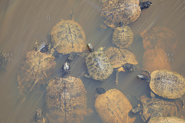 Box turtles swimming in a swamp