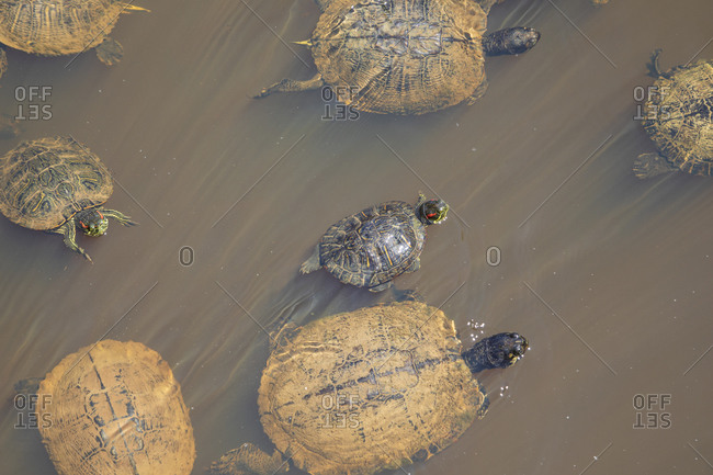 Overhead view of box turtles swimming in a swamp