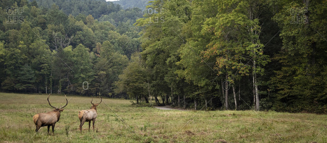 Panoramic view of two bull elk in a field in Great Smoky Mountains National Park