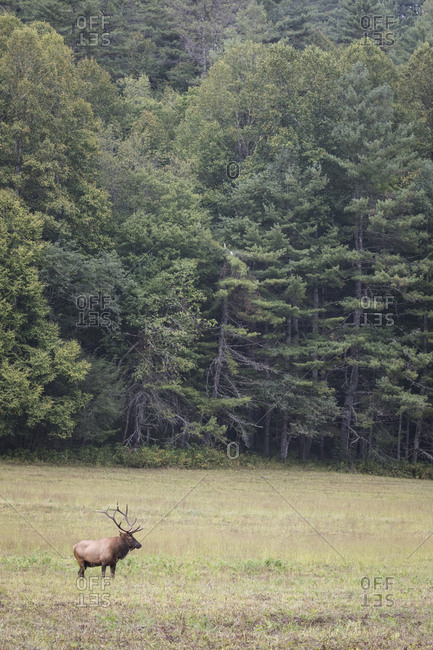 A bull elk in a field in Great Smoky Mountains National Park