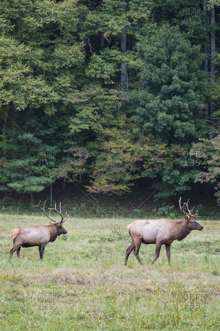 Two bull elk walking in a field in Great Smoky Mountains National Park