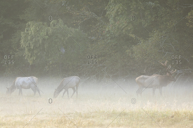 Three elk in a foggy field in Cataloochee Valley in the Great Smoky Mountains of North Carolina
