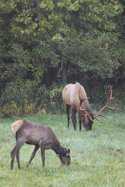 Bull elk grazing beside a cow elk in a field at Great Smoky Mountains National Park in North Carolina