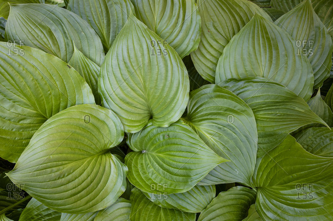 Lush green Hosta plant with many leaves