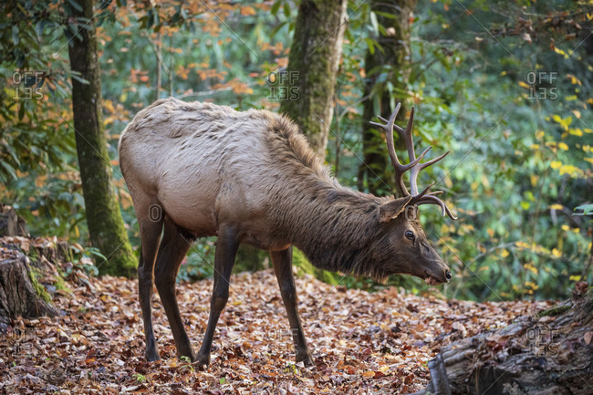 Bull elk walking through forest in Great Smoky Mountains National Park, Cataloochee, North Carolina