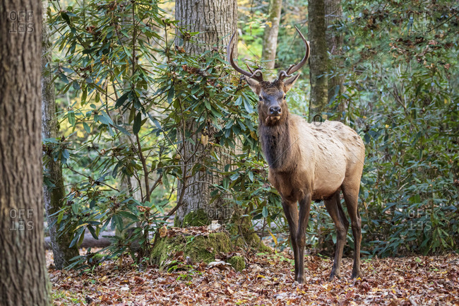 A beautiful bull elk walking through forest in Great Smoky Mountains National Park, Cataloochee, North Carolina