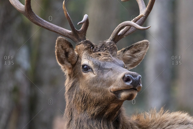 Extreme close up of a bull elk in Great Smoky Mountains National Park, Cataloochee, North Carolina