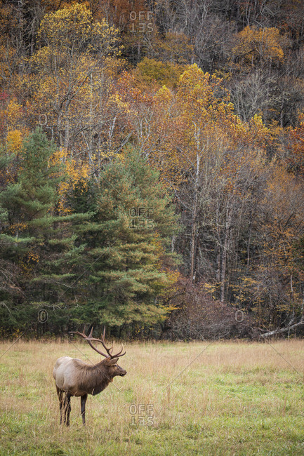 Bull elk with large antlers in a field in front of autumn trees at Great Smoky Mountains National Park, Cataloochee, North Carolina
