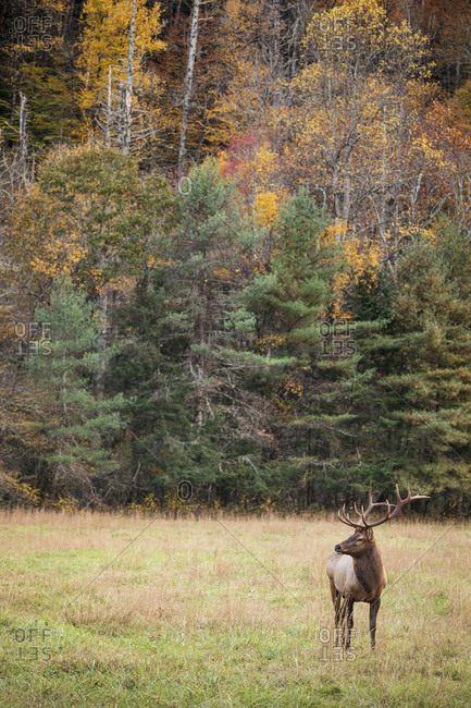 A large bull elk in a field in front of autumn trees at Great Smoky Mountains National Park, Cataloochee, North Carolina