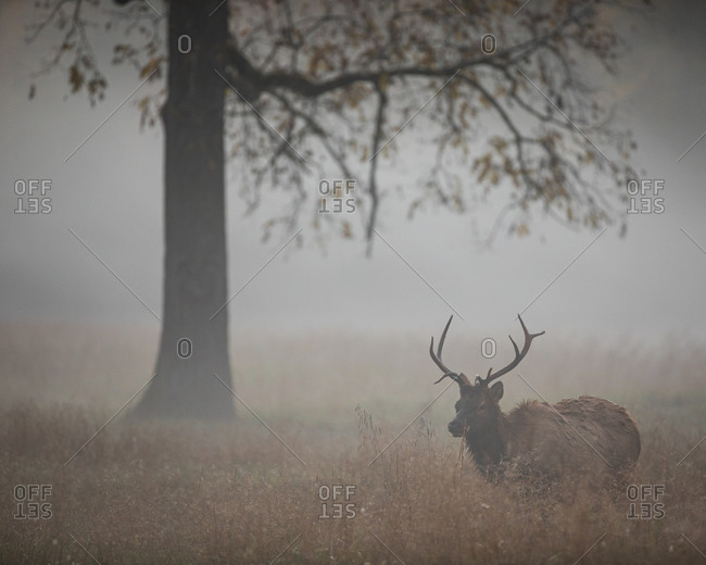 Foggy field with a large bull elk walking in Great Smoky Mountains National Park, Cataloochee, North Carolina