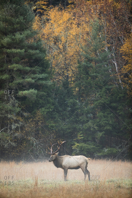 Bull elk walking a foggy field in autumn at Great Smoky Mountains National Park, Cataloochee, North Carolina