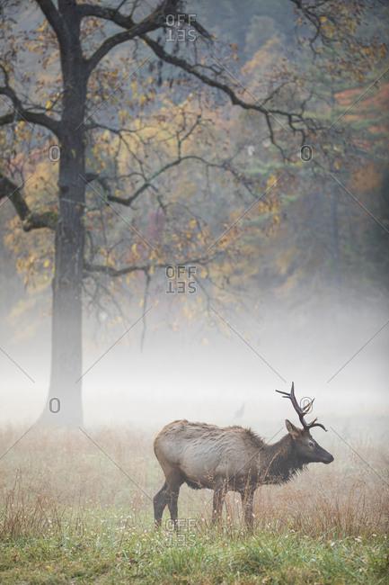 Bull elk walking through a foggy meadow in autumn at Great Smoky Mountains National Park, Cataloochee, North Carolina
