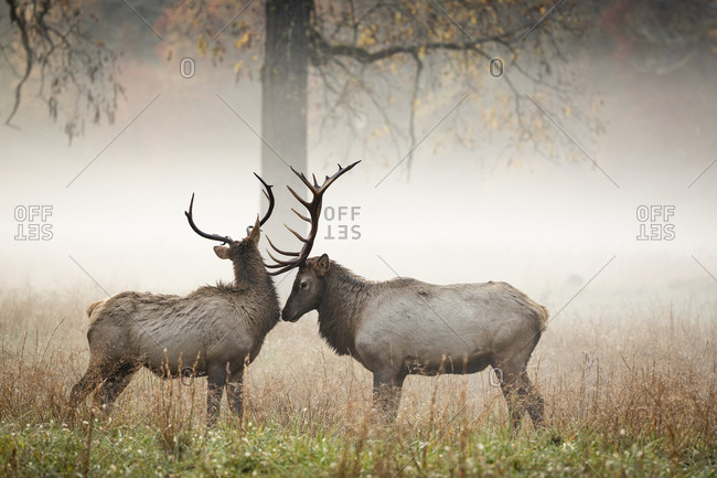 Two bull elks in a foggy meadow in autumn at Great Smoky Mountains National Park, Cataloochee, North Carolina