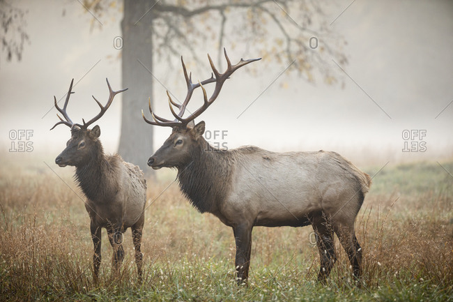 Two male elks in a foggy field in autumn at Great Smoky Mountains National Park, Cataloochee, North Carolina