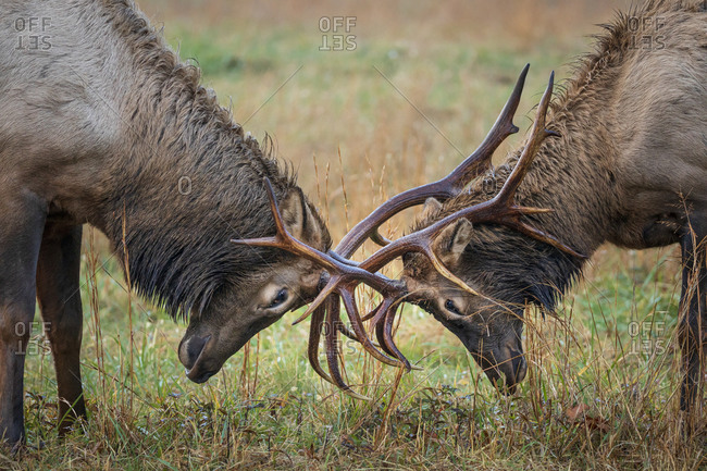Two bull elks rutting around in a meadow in autumn at Great Smoky Mountains National Park, Cataloochee, North Carolina