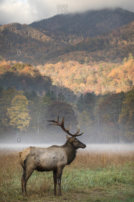 Bull elk standing in foggy meadow in front of autumn colored hills in the Great Smoky Mountains National Park, Cataloochee, North Carolina