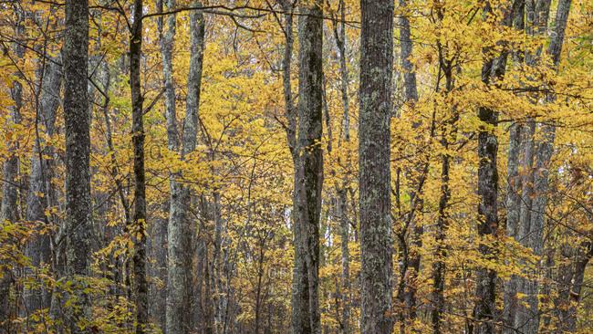 Yellow fall colored trees in Great Smoky Mountains National Park, Cataloochee, North Carolina