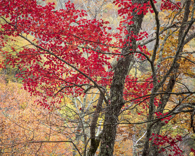 Vibrant red leaves on trees in Great Smoky Mountains National Park, Cataloochee, North Carolina