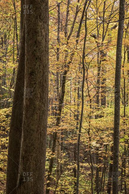 Trees in autumn at Great Smoky Mountains National Park, Cataloochee, North Carolina