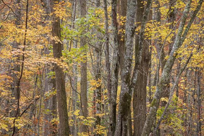 Trees with autumn leaves at Great Smoky Mountains National Park, Cataloochee, North Carolina