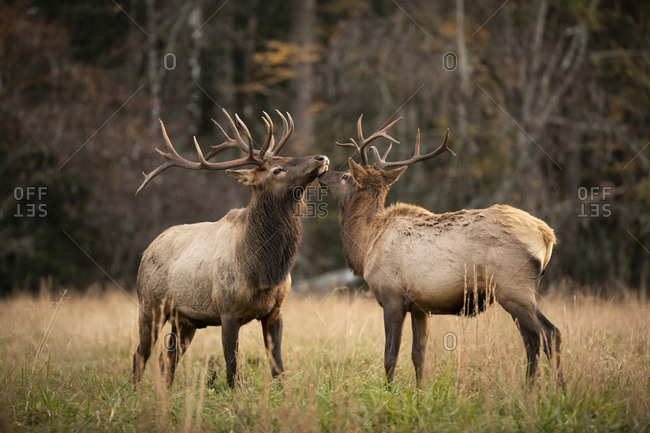 Two large elk in a field at Great Smoky Mountains National Park, Cataloochee, North Carolina