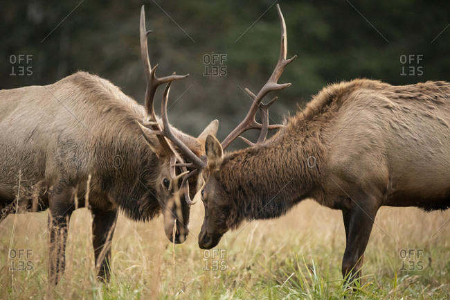 Two male elk rutting antlers together in a field at Great Smoky Mountains National Park, Cataloochee, North Carolina