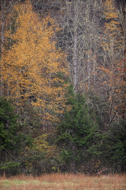 Elk in front of an autumn colored forest in Great Smoky Mountains National Park, Cataloochee, North Carolina