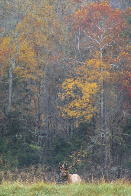 A large bull elk in front of an autumn colored forest in Great Smoky Mountains National Park, Cataloochee, North Carolina