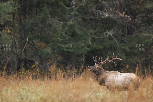 Male elk calling out for female in front of forest in Great Smoky Mountains National Park, Cataloochee, North Carolina