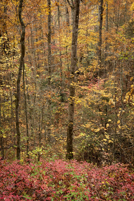 Forest filled with colorful autumn foliage in Great Smoky Mountains National Park, Cataloochee, North Carolina