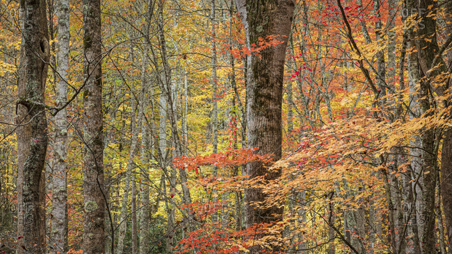 Multicolored autumn foliage in Great Smoky Mountains National Park, Cataloochee, North Carolina