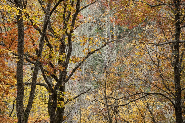 Forest with colorful autumn foliage in Great Smoky Mountains National Park, Cataloochee, North Carolina