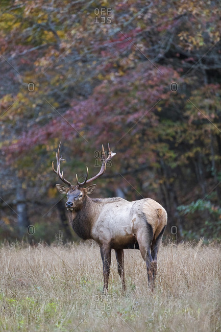 A male elk walking through meadow in fall, Great Smoky Mountains National Park, Cataloochee, North Carolina