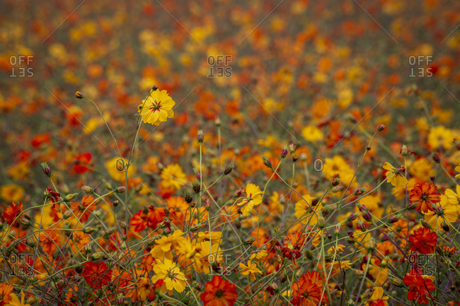 Colorful bed of wildflowers on an early foggy morning