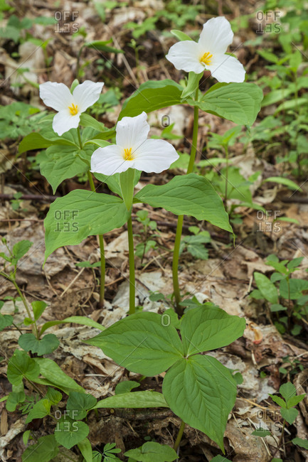 Trillium wildflower growing in the Cove Hardwood area of the Great Smoky Mountains National Park near Gatlinburg and Townsend, Tennessee