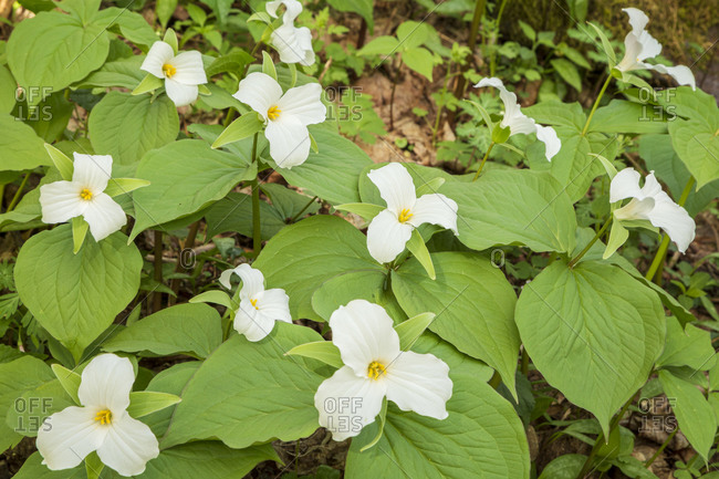 Trillium wildflowers growing in the Cove Hardwood area of the Great Smoky Mountains National Park in Tennessee