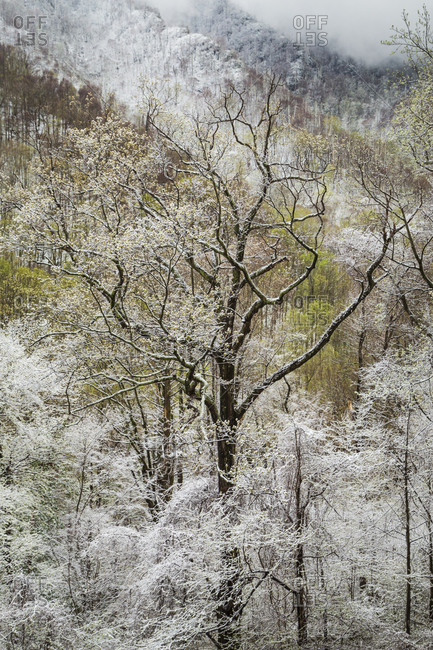 Snow covered trees in Great Smoky Mountains National Park in Tennessee