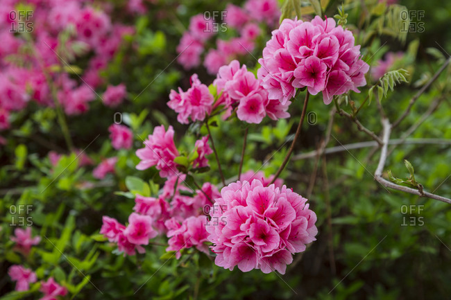 Beautiful pink azalea flowers in peak bloom, Raleigh, North Carolina
