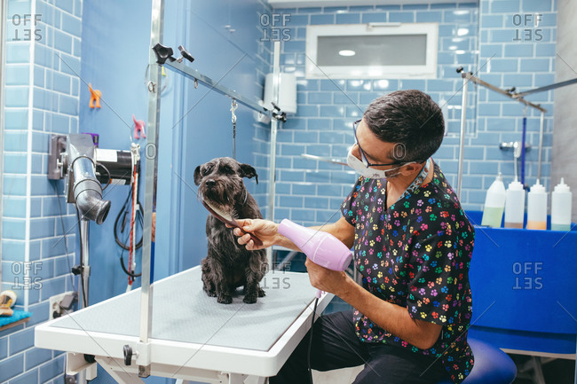 Man in mask brushing and drying fur of fluffy Miniature Schnauzer dog with hair dryer sitting calmly in grooming salon