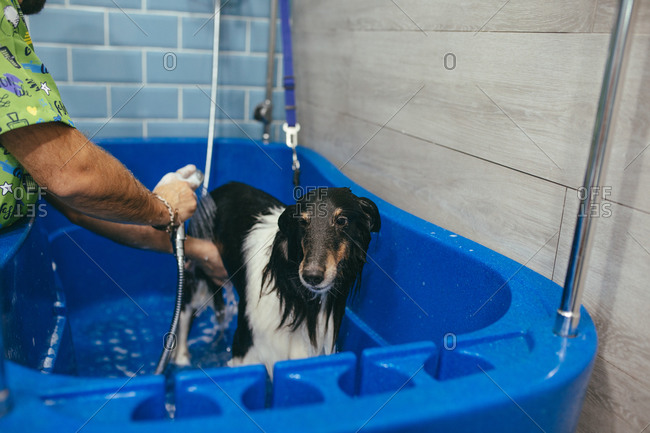Unrecognizable male worker pouring water on Rough Collie dog standing in bathtub in modern grooming salon