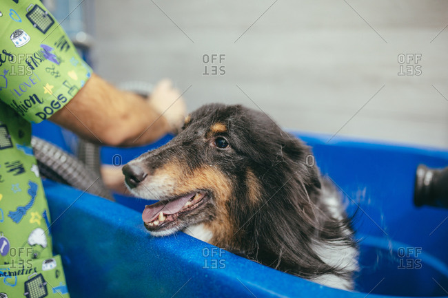 Cute fluffy Rough Collie dog sitting obediently in bathtub near anonymous male in modern grooming salon