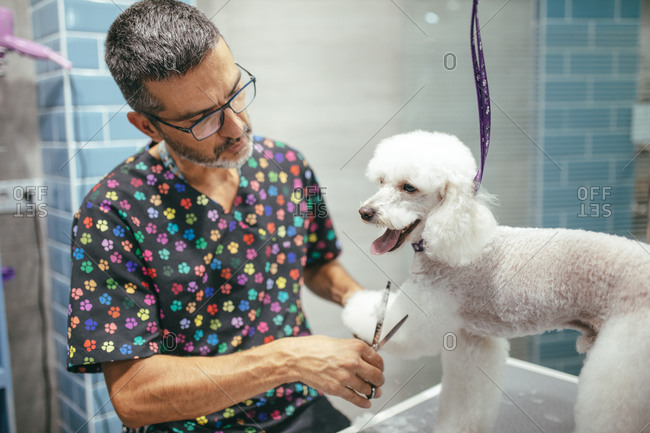 Side view of male groomer in mask and with scissors cutting fur of white fluffy Miniature Poodle in grooming salon