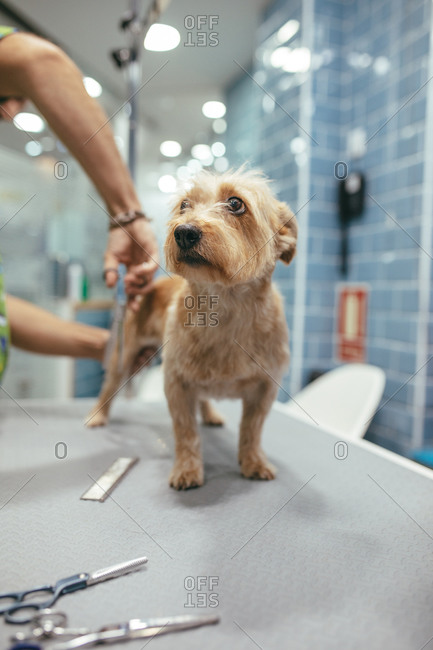 Unrecognizable male cutting fur of little Norfolk Terrier standing on metal table in grooming salon