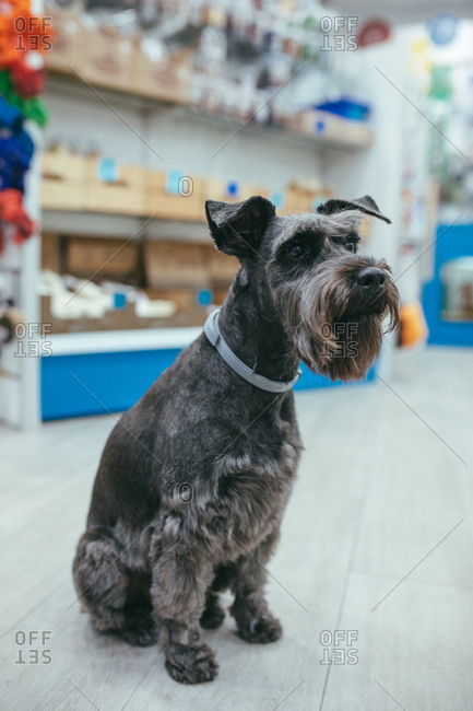Curious fluffy Miniature Schnauzer dog with groomed fur sitting on floor in salon and looking at camera