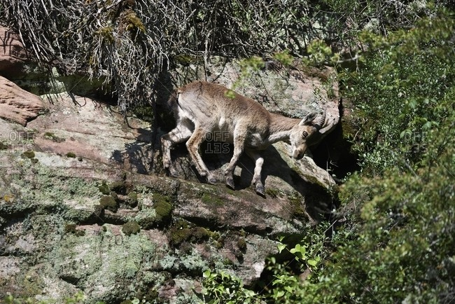Iberian wild goat or Spanish ibex standing on rocky slope with green moss in mountains in summer day