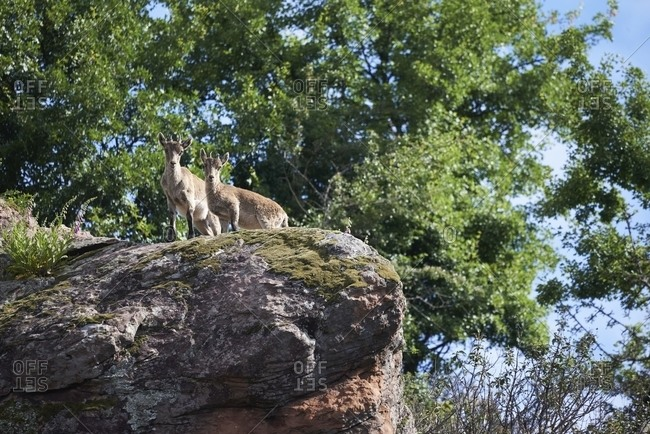 Low angle of Iberian wild goats or Spanish ibex standing on rocky slope with green moss in mountains in summer day