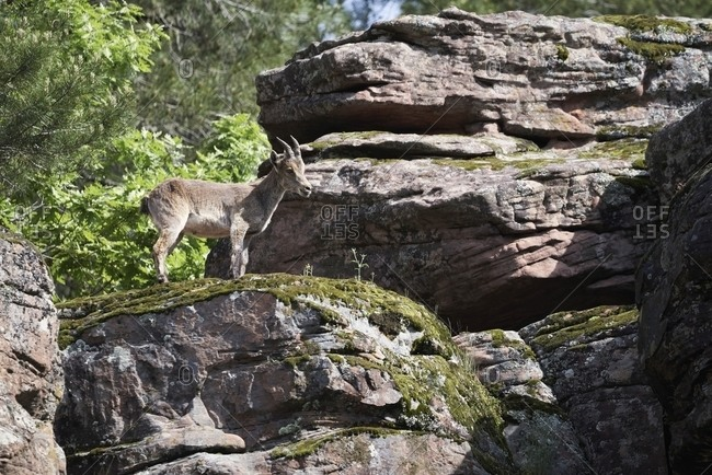 Low angle of Iberian wild goat or Spanish ibex standing on rocky slope with green moss in mountains in summer day