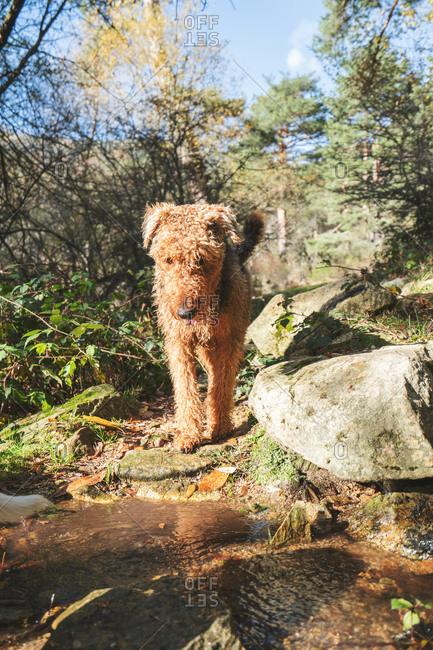 Happy wet Erdelterier purebred dog standing in water of flowing creek in nature