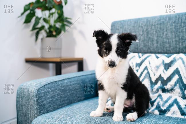 Adorable black and white Border Collie puppy sitting on couch and looking at camera
